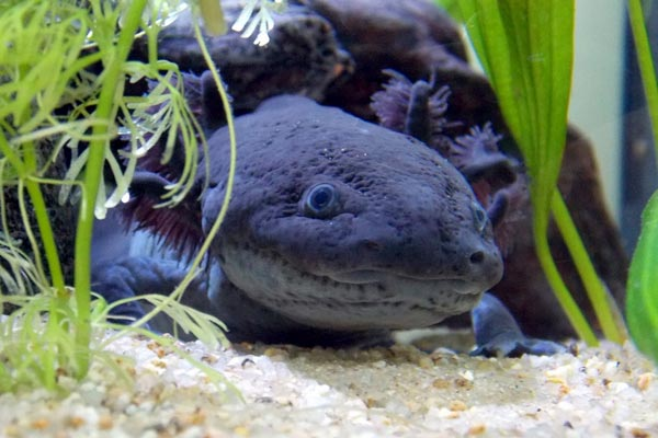 can axolotls eat red wigglers