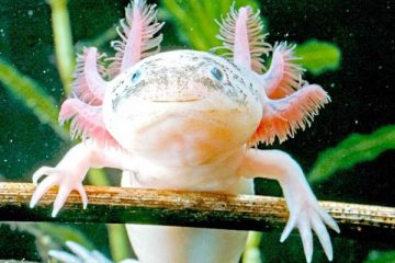 how many worms should my axolotl eat