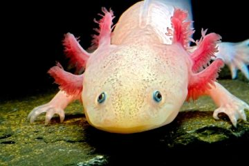 when can axolotls eat nightcrawlers