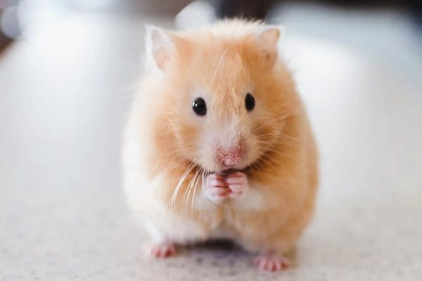 Can Hamsters Eat Spinach