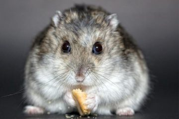 How Often Should You Feed a Hamster