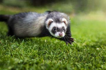 What Do Ferrets Eat In the Wild
