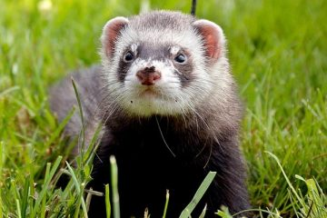 how much does a ferret cost