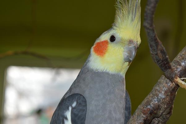 Can Cockatiels Eat Parakeet Food