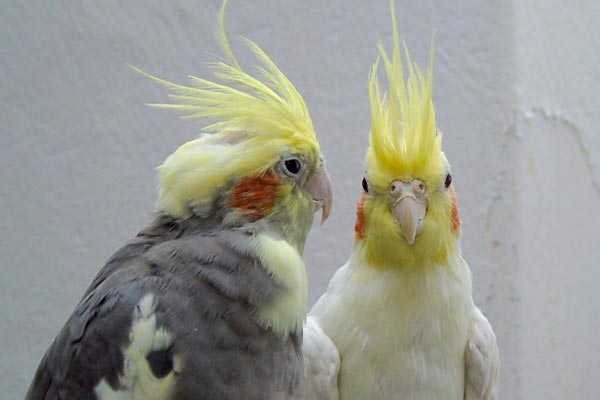 Can Cockatiels See In the Dark