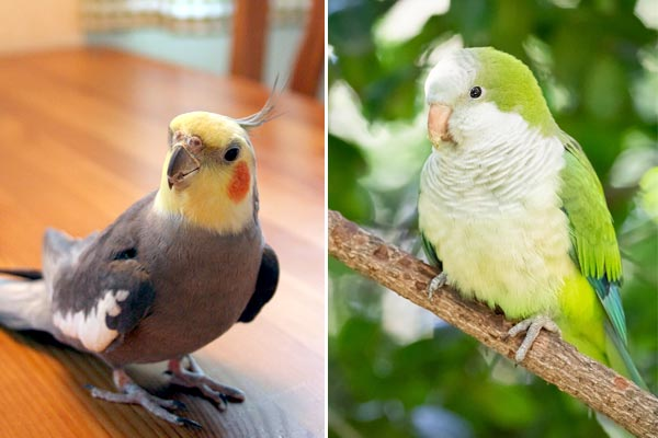 Can Parakeets and Cockatiels Live Together