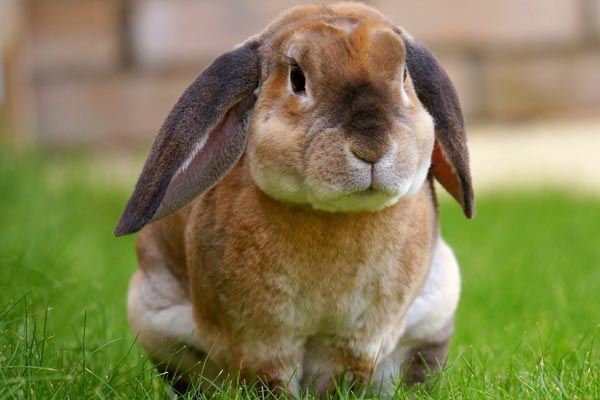 Can Rabbits Eat Guinea Pig Food