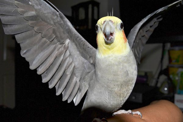 What Can Cockatiel Eat