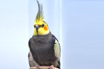 Do Cockatiels Eat With Their Feet