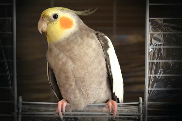 What Age Do Cockatiels Stop Laying Eggs