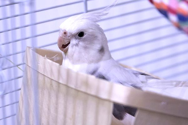 When Do Baby Cockatiels Eat On Their Own