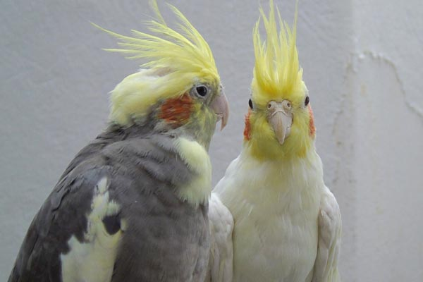 Is the Cockatiel the Right Pet Bird for You